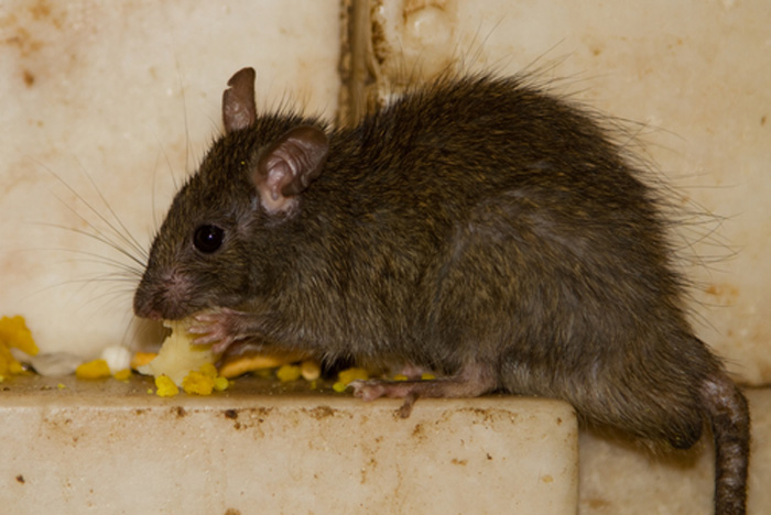 rodent-inspection-bothell-wa