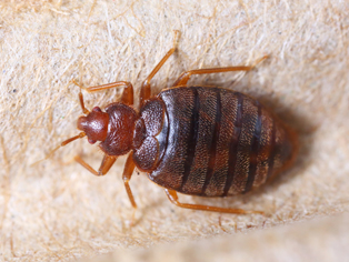 bed-bug-removal-federal-way-wa