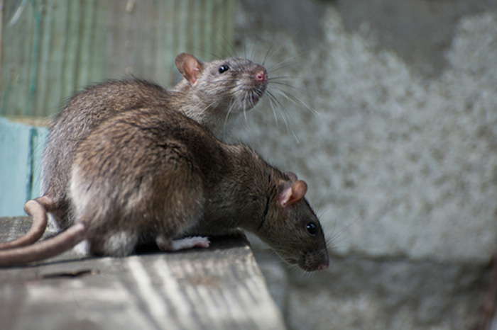 rodent-control-maple-valley-wa